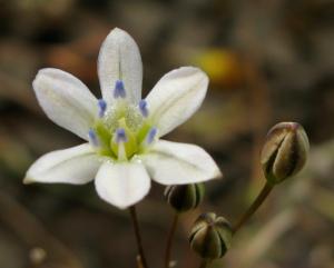 Triteleia lilacina- volcanic triteleia